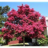 Crape Myrtle, Lagerstroemia indica, Tree Seeds (Fast, Showy, Fall Color) (150)
