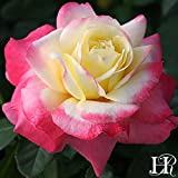 Own-Root One Gallon French Perfume Hybrid Tea Rose by Heirloom Roses