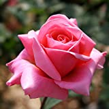 Own-Root One Gallon Fragrant Hour Hybrid Tea Rose by Heirloom Roses