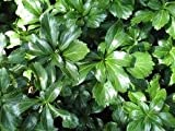 Pachysandra Terminalis 'Green Sheen' Groundcover - 100 Bare Root Plants