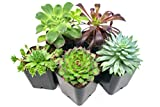 Succulent Plants (5 Pack), Fully Rooted in Planter Pots with Soil -  Real Live Potted Succulents /...