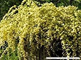 (1 Gallon) Yellow Lady Banks Rose (Climbing Rose) - Beautiful, Thornless,Small, Double Yellow Blooms...