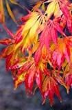 Elegans Japanese Maple - Best Fall Color 1 - Year Live Plant