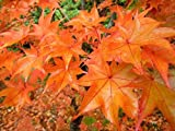 Hogyoku Japanese Maple One of The Best Maples For Fall Color 1 - Year Live Plant