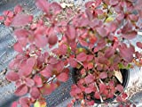 Rosy Glow Barberry, glossy red leaves, good fall color, TEN plants