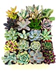 Shop Succulents | Unique Collection of Live Succulent Plants, Hand Selected Variety Pack of Mini...