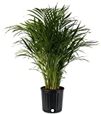 Costa Farms Areca Butterfly Palm Tree, Live Indoor Plant, 3 to 4-Feet Tall, Ships in Grow Pot, Fresh...