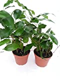 Two Midnight Weeping Fig Tree - Ficus - Great Indoor Tree for Low Light - 4' Pot