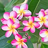 Pink Plumeria Rooted Plant - not cuttings. Fragrant Pink Rainbow - 12-14' Plant Blooms This Summer  ...