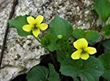 Smooth Yellow Violet, 50 Seeds (Viola Pubescens, Eriocarpa), Woodland Shaded Area