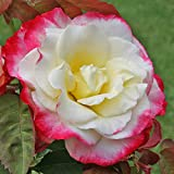 Own-Root One Gallon Double Delight Hybrid Tea Rose by Heirloom Roses