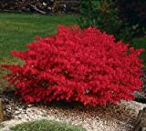 (2 Gallon) BURNING BUSH Shrub, blue-green colored leaves in summer turns into fiery red autumn...