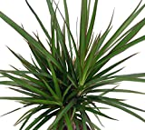 Madagascar Dragon Tree - Dracaena marginata - 4' Pot - Easy to Grow House Plant