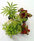 Jmbamboo-collection-Terrarium & Fairy Garden Plants - 5 Plants in 2' pots