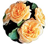 Stargazer Perennials Garden Sun Climbing Rose Plant - Repeat Blooming Fragrant Apricot Peach Yellow...