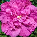Magenta Chiffon Hibiscus syriacus - Rose of Sharon - 4' Pot - Proven Winners