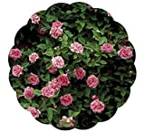 Stargazer Perennials Zephirine Drouhin Rose Plant Fragrant Pink Old-fashioned Flowers - Nearly...