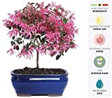 Brussel's Live Fringe Flower Outdoor Bonsai Tree - 3 Years Old; 8' to 12' Tall with Decorative...