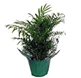 Shop Succulents | Victorian Parlor Palm House Plant, Naturally Air Purifying House Plant, Low...