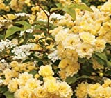 Heirloom Lady Banks Yellow Climbing Rose Flower Pack of 50 Seeds Flower Garden