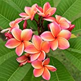 Rainbow Plumeria - Stout 12'-14' Well-Rooted Plant - Fragrant - Blooms in Summer | Ships from Easy...