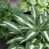 Mixed Hosta 6 Pack (Great for Shaded Areas)