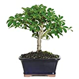 Brussel's Live Hawaiian Umbrella Indoor Bonsai Tree - 3 Years Old; 5' to 8' Tall with Decorative...