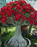 Caudex Bonsai - Desert Rose, small size Adenium Obesum - one year bare Rooted plant - new hybrid,...