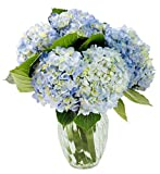 KaBloom Summer Beauty Bouquet of 6 Blue Hydrangeas with Vase