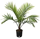 Costa Farms Majesty Palm Tree, Live Indoor Plant, 3 to 4-Feet Tall, Ships in Grow Pot, Fresh From...