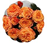 Stargazer Perennials Crazy Love Rose Plant Potted Reblooming Sunbelt Rose - Double Apricot Orange...