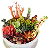 Live Succulent Cuttings 10 Assorted Varieties Beginners Succulents, No 2 Cuttings Alike, Great for...