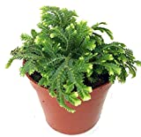 Frosty Fern Spike Moss Exotic Live Plant Selaginella Easy to Grow 2.5'Pot Indoor - USA_Mall