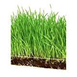 Microgreen Organic Wheatgrass 3 Pack Refill - Pre-measured Soil + Seed, Use with Window Garden...
