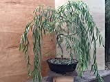 Bonsai Golden Weeping Willow Tree Cutting - Large Thick Trunk Rooited Tree Cut - Mature Bonsai Look...