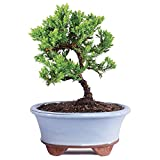 Brussel's Live Green Mound Juniper Outdoor Bonsai Tree - 3 Years Old; 4' to 6' Tall with Decorative...
