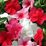 Outsidepride Periwinkle Ground Cover Flower Seed Plant Mix - 4000 Seeds