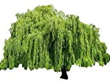 Weeping Willow Tree - Salix babylonica - Heavy - Established - Roots 1 Trade Gallon Pot - 1 Plant by...