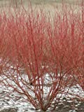 (2 Gallon) 'Red Twig' Dogwood, Coral Red Bark, Great for Erosion Prevention and Mass Plantings Have...