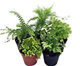 Mini Ferns for Terrariums/Fairy Garden - 5 Different Plants-2' Pots