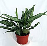 Silver Queen - Plant - Aglaonema - Low Light - 6' Pot-unique From Jmbamboo