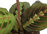 Shop Succulents | Maranta Red 'Prayer Plant', Naturally Air Purifying House Plant, Easy Care, Live...