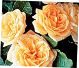 ZEE 40+ Petals Yellow Peach Apricot Flowers Garden Sun Climbing Rose Plant Potted - Own Root - RK156