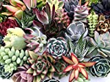 10 Assorted Live Succulent Cuttings, No 2 Succulents Alike, Great for Terrariums, Mini Gardens, and...