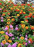 Lantana Camara Flowers - Two (2) Live Plants - Not Seeds - Natural Mosquito Repellant Garden -...