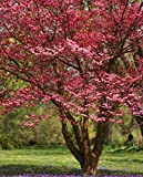 (1 Gallon Bare-Root) RED DOGWOOD Tree, Gorgeous ruby red blooms in Spring. In Fall, leaves turn...