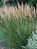 Perennial Farm Marketplace Calamagrostis a. 'Karl Foerster' ((Feather Reed) Ornamental Grasses,...