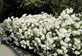 Climbing Iceberg Rose - Honey Fragrance -Repeat Bloomer - 4' Pot
