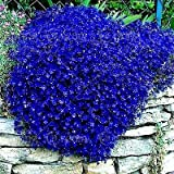 100pcs/bag Creeping Thyme Seeds or Blue Rock Cress Seeds Perennial Ground cover flower, Natural...