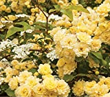 Heirloom 'Lady Banks' Yellow Climbing Rose Flower Seeds, Professional Pack, 50 Seeds / Pack,...
